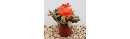- Kaktusy domowe